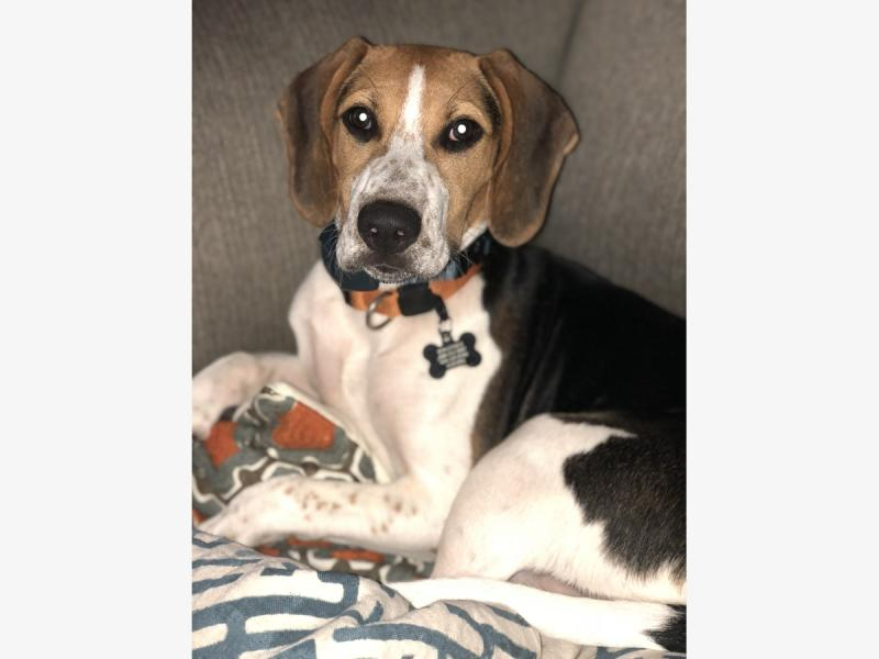 8 month old beagle puppy needs a loving family to adopt her