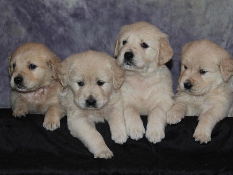 Golden Retriever AKC Registered Puppies for sale - Manhattan, IL Patch